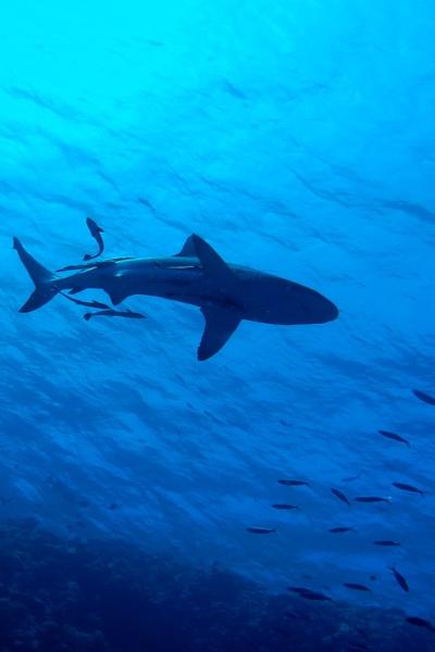 Shark Fishing in Tampa Bay, Florida